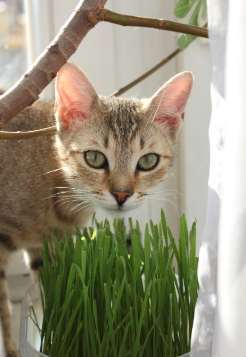 Feline 101 cat safe grass and herb gardens for spoiled for Indoor gardening with cats
