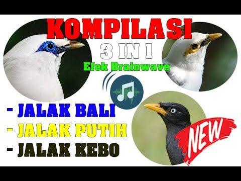 Suara Masteran Burung Jalak Kompilasi 3 In 1 Gacor Jalak Bali Jalak P Di 2020 Jalak Suara Bali