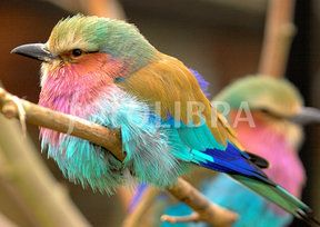 lilac breasted roller pair - Google Search