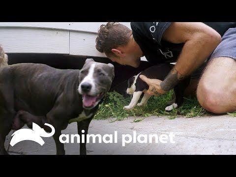 Adiestramiento Canine Service Youtube Pitbull Pitbulls Dogs
