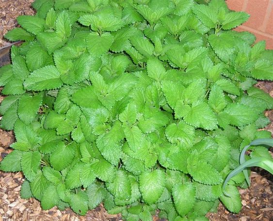 How to use lemon balm. I can't believe I found this! I was wondering what to do with all this lemon-smelling tea growing everywhere in my back yard!
