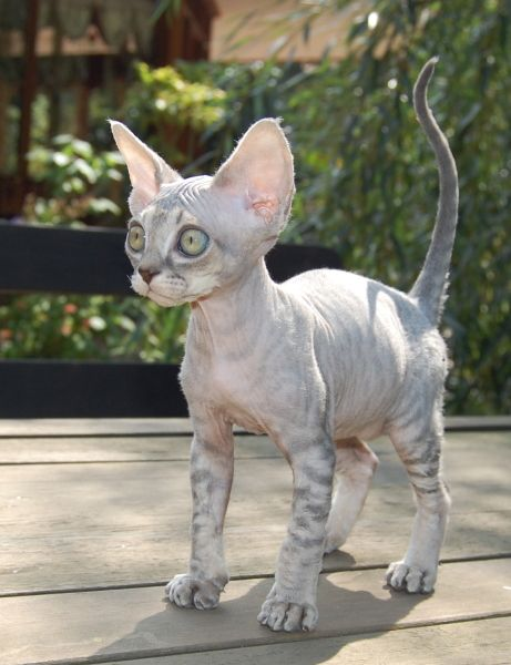 Blue Tabby Male Devon Rex... If Snickers lost all his fur this is exactly what he would look like!