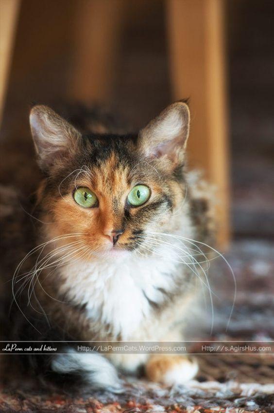 LaPerm cat. Adult female; S*ÄgirsHus BC Solvigg