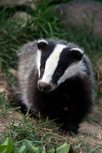 The Wisconsin state animal....cute looking, but tough, determined little things...guess that is why we are the Badger State..!