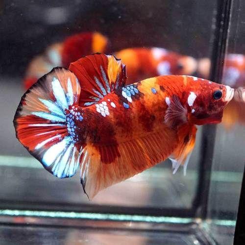 Live Betta Fish Fancy Blue Orange Halfmoon Plakat Hmpk Male 15 Betta Betta Fish Live Fish For Sale