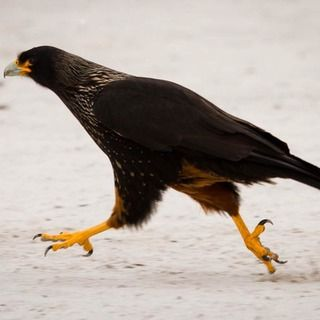 Image for Striated Caracara