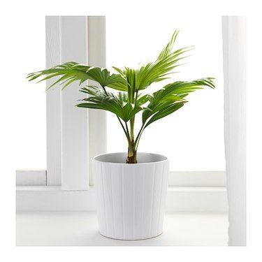 IKEA LIVISTONA ROTUNDIFOLIA potted plant