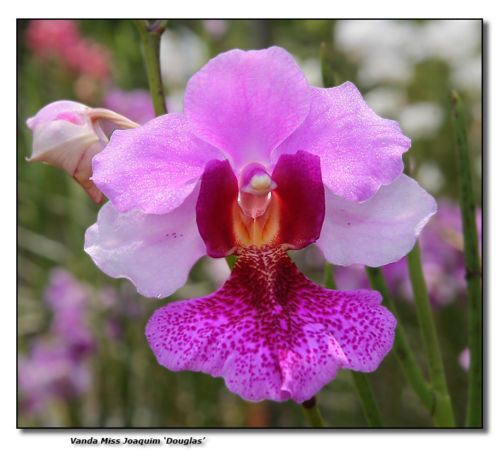 Rare Vanda Miss Joaquim Douglas Orchid Plant Hardtofind Limited Collector Seeds Moth Orchid Seed Garden Flower Flowers Orchids Pinkorchid P