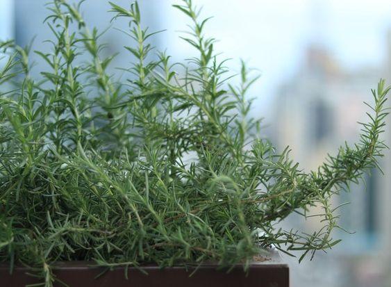 O alecrim está entre as ervas mais fáceis de cuidar (Foto: Brenda Amaral/Divulgação)