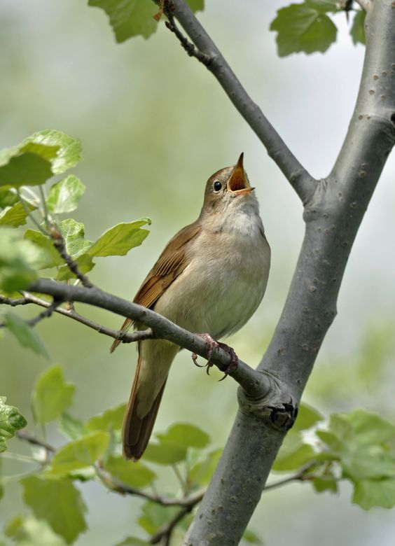 Singing Nightingale | Flickr - © Wouter Marck: