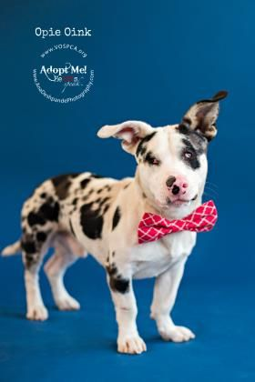 Oink Opie - URGENT - Valley Oak SPCA in VISALIA, CA - ADOPT OR FOSTER - 1 year old Neutered Male Dachshund/Australian Cattle Dog Mix - Blind and Deaf