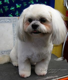 teddy haircut for shih tzu shih tzu teddy bears and ears on 4468