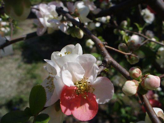 ボケの花と実 2020 花の写真 木瓜 紅白