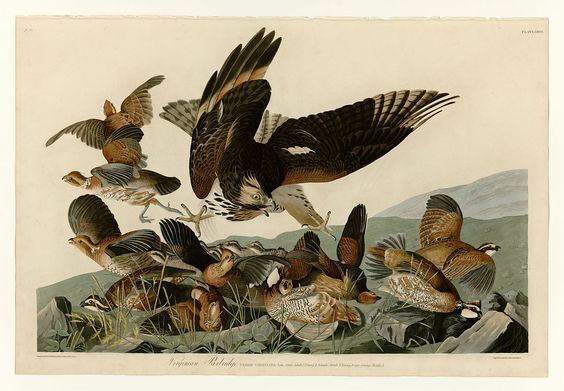 Image of bobwhite quails trying to evade danger from The Birds of America book by naturalist and painter John James Audubon.
