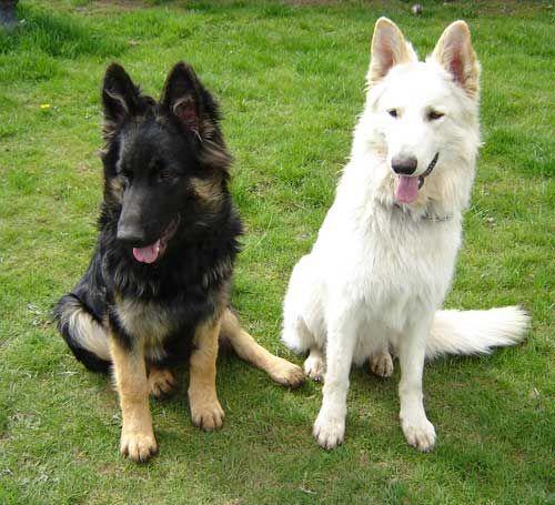Classic German Shepherd Dog with a White German Shepherd Dog