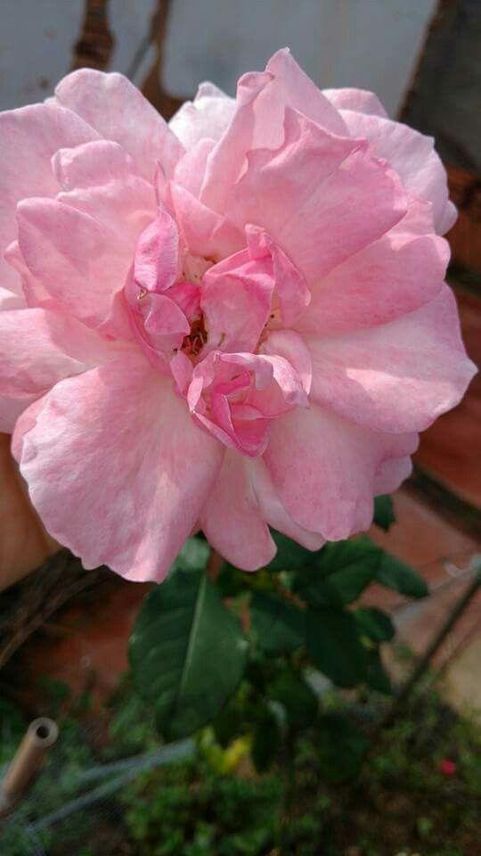 De frente para rosa