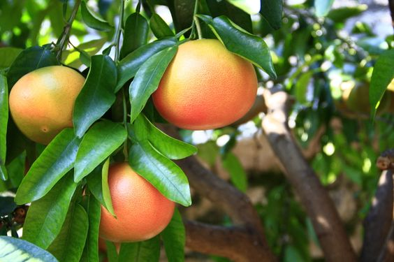 Grapefruit fruits on the tree