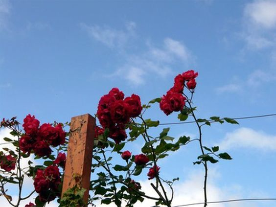 Are Rose Bushes Poisonous To Dogs Hunker Rose Fertilizer Climbing Roses Rose Care
