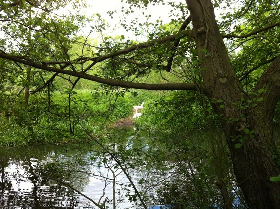 Swans nesting on the banks of the Thames at Runnymede