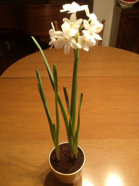1/19/14 My Paperwhites (Narcissus) are still blooming.