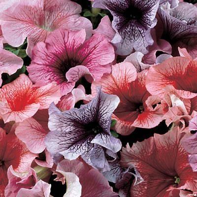 Petunia Daddy Mix F1 Flower Seeds Annual Flowers Petunias