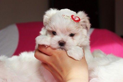 Maltanczyki Maltanczyk Miniaturki Do 2kg 7302415054 Oficjalne Archiwum Allegro Animals Teddy Bear Dogs