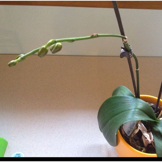 Our orchid close to blooming!