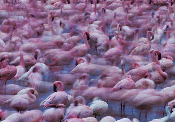 flamingomigration003