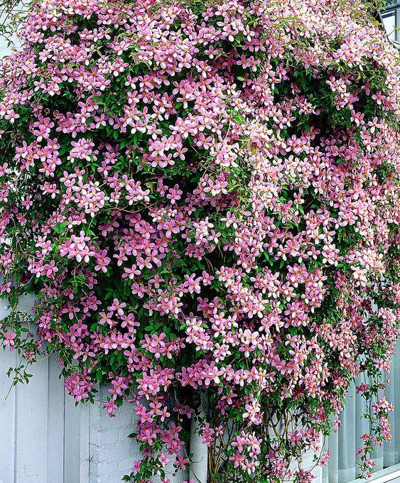Clematis montana var. rubens Love this stuff:)