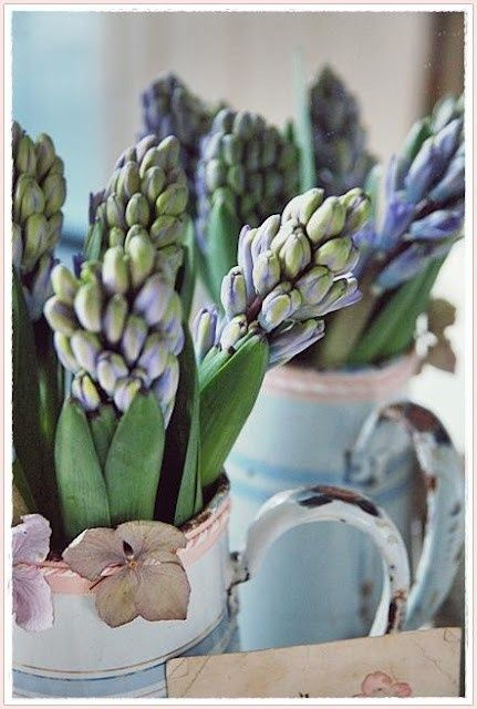 hyacinth bleu...