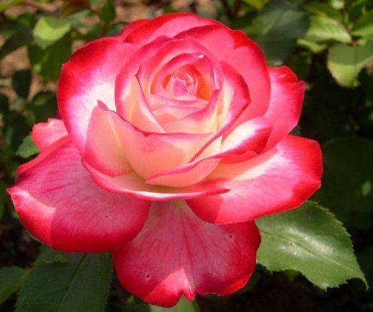 Types Of Roses | Here Are Many Different Types Of Roses If You Are