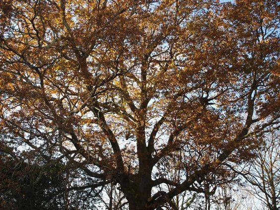 Oro vejetal, árboles centenarios en el Monte Rio Los Vados, Parque Natural Saja Besaya #Cantabria.