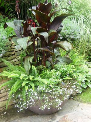 how to grow canna lilies in pots