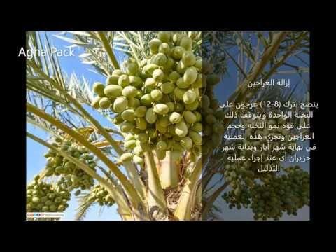 خف ثمار التمور Grapes Fruit