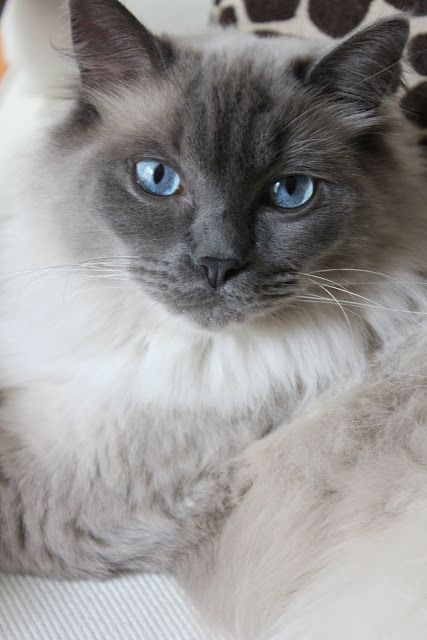 Beautiful Ragdoll: