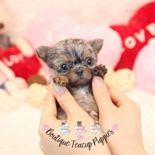 Teacup Chihuahua Puppies For Sale Apple Head Chihuahua Breeders
