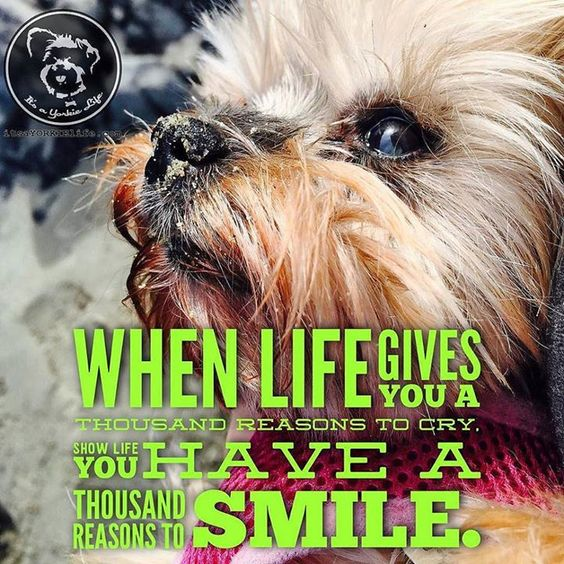 Thanks to my Yorkie I always have thousand reasons to smile. Click like if you do too.