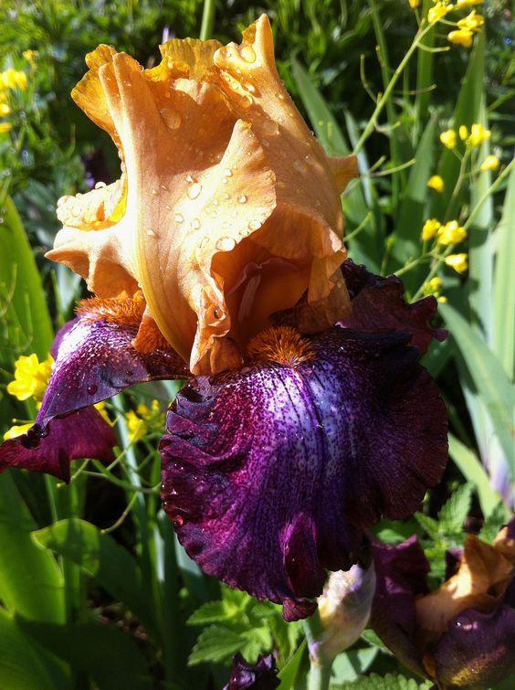 Lovely Iris...Gorgeous colour combo :) Purple Sun