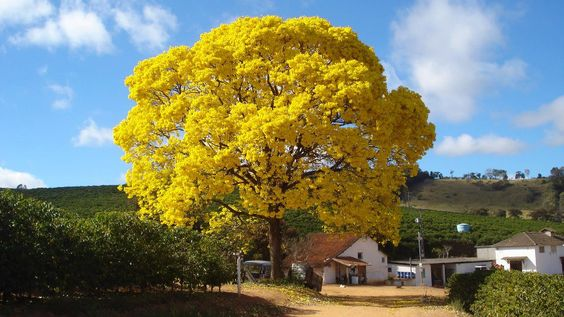 Ipê amarelo na Fazenda da agro pecuária Santa Quitéria em Cambuquira, MG