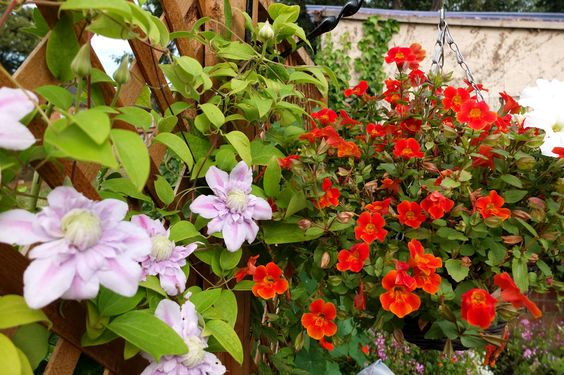Clematis and hanging basket August 2014