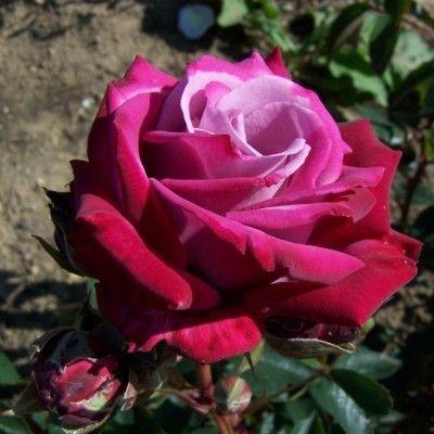 Rosa 'Dr John Dickman'