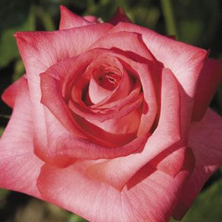 J Rosé™ Hybrid Tea Rose - Once known as Sleeping Beauty's Love's Kiss. Hoping to add this to our garden this year.