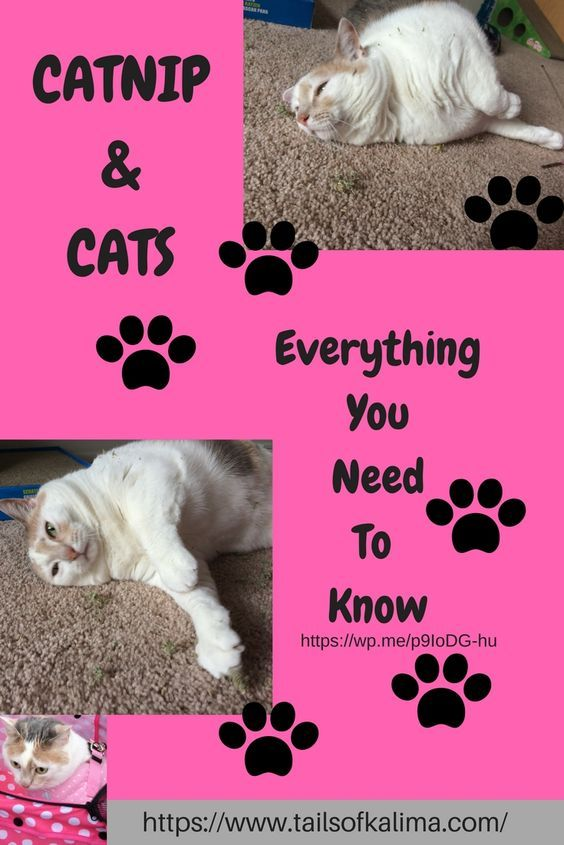 Catnip And Cats Everything You Need To Know Tails Of Kali Ma Therapy Cat Flea Shampoo For Cats Cat Safe Plants
