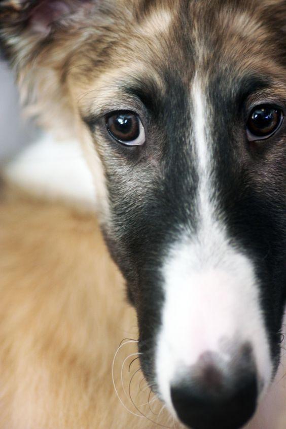 Borzoi Russian Wolfhound Windhunde Barsoi Hunde
