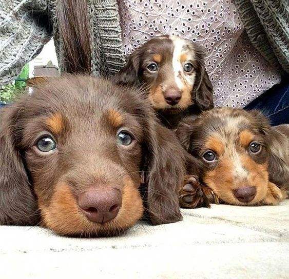 Cute Dachshund Puppies If You Love Dachshund Visit Our Blog To