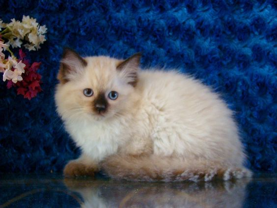 Pooky Seal Mitted Male Ragdoll - Ragdoll Kitten for Sale - from www.RagdollKittens.com