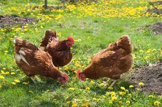 Quelques conseils pour créer un poulailler dans votre jardin. http://www.gerbeaud.com/animaux/basse-cour/elever-des-poules-dans-son-jardin,1048.html#utm_sguid=150629,be51cb68-7092-a338-db8b-4d4a9c52b645