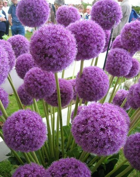 Allium Giganteum Allium Flowers Flower Garden Borders Bulb Flowers