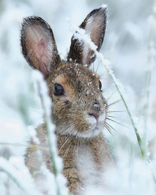 Rabbit in Winter.. one of these scared the crap out of me and ran from under my step when I was going to put wood stove.: