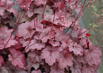 Heuchera 'Georgia Plum' An eye-catching new form of 'Georgia Peach', tough, with amazing year round rose purple leaves, pink to silver overlay, and purple pink flowers. A tighter habit with smaller leaves and shorter flowers than 'Georgia Peach'. Heat and humidity resistant.